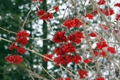 Bayas rojas del invierno Fotografía de archivo