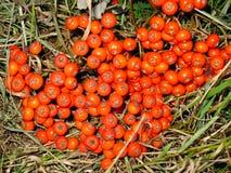 Bayas rojas del otoño fotos de archivo libres de regalías