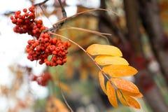 Bayas rojas del otoño Foto de archivo libre de regalías