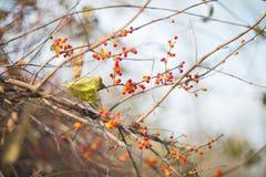 Bayas rojas del otoño Fotografía de archivo