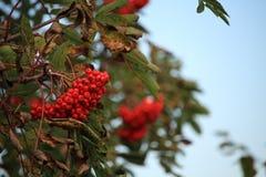 Bayas rojas del otoño brillante en un arbusto en caída con un cielo azul claro Foto de archivo