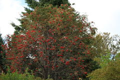 Bayas rojas del otoño en un arbusto grande en caída Fotos de archivo libres de regalías