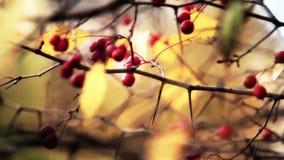 Bayas rojas del otoño del viburnum HD 1920x1080 almacen de video