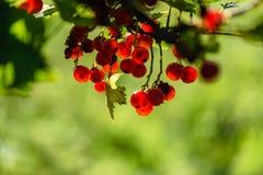 bayas rojas del verano en fondo verde Foto de archivo libre de regalías
