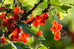 bayas rojas del verano en fondo verde Imagen de archivo