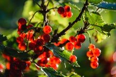 bayas rojas del verano en fondo verde Fotos de archivo libres de regalías