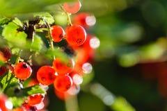 bayas rojas del verano en fondo verde Fotografía de archivo libre de regalías