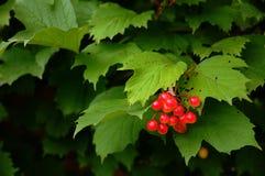 Bayas rojas del viburnum. Fotografía de archivo libre de regalías