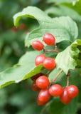 Bayas rojas del Viburnum imagenes de archivo
