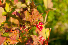 Bayas rojas del Viburnum en el árbol Imagenes de archivo