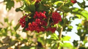 Bayas rojas del viburnum en un arbusto en la rama del bosque del Viburnum rojo en el jardín Bayas del Viburnum y hojas de almacen de video