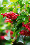 Bayas rojas del Viburnum (Guelder subió) en jardín Imagenes de archivo