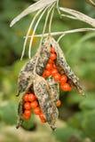 Bayas rojas dentro de las vainas en la planta ornamental Imagen de archivo libre de regalías