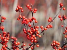 Bayas rojas en el bosque Imágenes de archivo libres de regalías