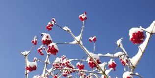 Bayas rojas en la fusión del invierno Imagen de archivo
