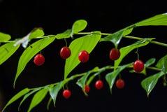 Bayas rojas en la planta fresca y verde imagen de archivo libre de regalías