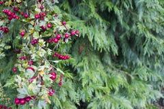 Bayas rojas en la rama Imagen de archivo libre de regalías