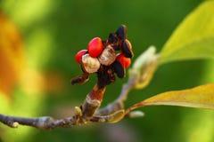 Bayas rojas en la rama, momentos de la magnolia del otoño Foto de archivo libre de regalías