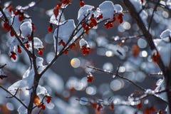 Bayas rojas en nieve imagen de archivo