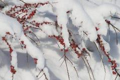 Bayas rojas en nieve Imágenes de archivo libres de regalías