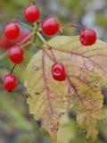 Bayas rojas en tiempo del otoño imagenes de archivo