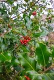 Bayas rojas en un árbol de acebo imagenes de archivo