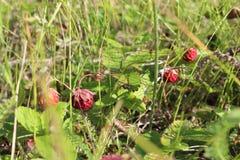Bayas rojas en un prado debajo del sol fotos de archivo libres de regalías