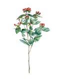 Bayas rojas en una rama Imagen de archivo libre de regalías