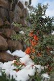 Bayas rojas entre nieve en invierno Imagen de archivo libre de regalías