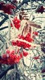 Bayas rojas escarchadas Fotos de archivo
