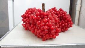 Bayas rojas hermosas y deliciosas del viburnum Imagenes de archivo