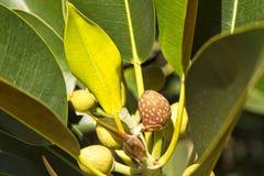 Bayas rojas manchadas de una higuera salvaje enorme rodeada por las hojas verdes gruesas carnudas fotografía de archivo libre de regalías