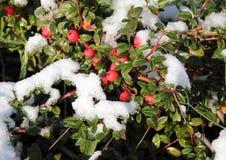 Bayas rojas nevadas en rama verde en invierno Fotografía de archivo
