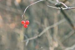 Bayas rojas para los pájaros en una rama de árbol Flor en la nieve Imagenes de archivo