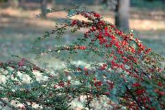 Bayas rojas salvajes imagenes de archivo