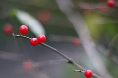 Bayas rojas salvajes en el parque imagenes de archivo
