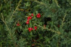 Bayas rojas septentrionales en un fondo natural verde fotos de archivo libres de regalías