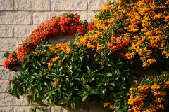 Bayas rojas y anaranjadas en un arbusto del firethorn Foto de archivo libre de regalías