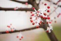 Bayas rojas y helada blanca hermosa imagen de archivo libre de regalías