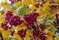 Bayas rojas y hojas coloridas Imagenes de archivo