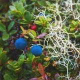 Bayas salvajes de la tundra Foto de archivo libre de regalías