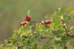 Bayas salvajes del rojo de la rosa rama foliacea pintoresca Fotografía de archivo libre de regalías