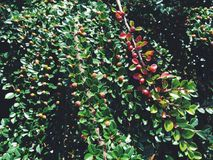 Bayas salvajes en arbusto Imágenes de archivo libres de regalías