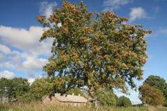 Bayas suaves del ceniza-árbol Fotos de archivo libres de regalías
