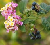 Bayas y flores Fotos de archivo