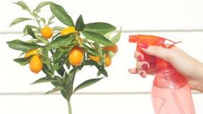 Bayas y hojas de riego del kumquat de la mano de la mujer almacen de video