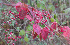 Bayas y hojas rojas del otoño en el bosque Imagenes de archivo