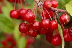 Bayas y hojas rojas del verde Imagenes de archivo