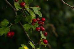 Bayas y hojas rojas del verde en otoño foto de archivo libre de regalías