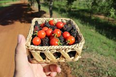 bayas y tomates en cesta Fotografía de archivo libre de regalías